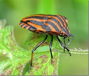 Dit insect ooit gezien? - Peer